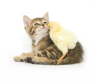 γατάκι νεοσσών μωρών Στοκ εικόνα με δικαίωμα ελεύθερης χρήσης