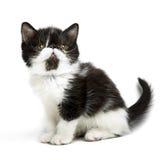 γατάκι περσικό Στοκ Φωτογραφία