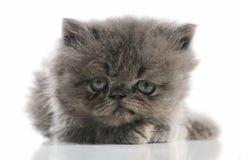 γατάκι περσικό Στοκ φωτογραφία με δικαίωμα ελεύθερης χρήσης