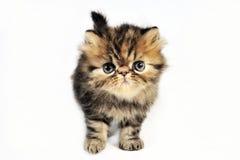 γατάκι περσικό Στοκ Εικόνες