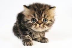 γατάκι περσικό Στοκ Εικόνα