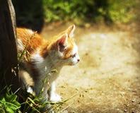 Γατάκι πιπεροριζών Στοκ φωτογραφία με δικαίωμα ελεύθερης χρήσης