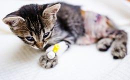 Γατάκι που ανακτεί μετά από τη χειρουργική επέμβαση Στοκ Φωτογραφία