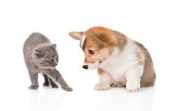 Γατάκι που εκφοβίζεται από ένα σκυλί η ανασκόπηση απομόνωσε το λευκό Στοκ Φωτογραφίες