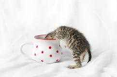 Γατάκι που εξετάζει μια κούπα Στοκ εικόνες με δικαίωμα ελεύθερης χρήσης