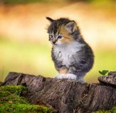 Γατάκι που κοιτάζει επίμονα μπροστά Στοκ Φωτογραφίες