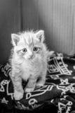 Γατάκι που κοιτάζει περίεργα στοκ φωτογραφία