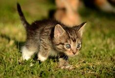 Γατάκι που μαθαίνει να κυνηγά Στοκ Φωτογραφία