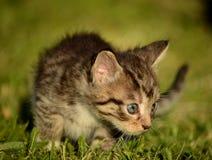 Γατάκι που μαθαίνει να κυνηγά Στοκ φωτογραφίες με δικαίωμα ελεύθερης χρήσης
