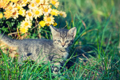 Γατάκι που περπατά στη χλόη Στοκ Εικόνες