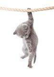 γατάκι πτυχών λίγα σκωτσέζικα Στοκ Εικόνα