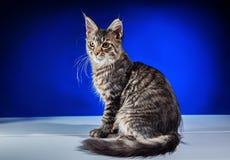 Γατάκι σε ένα μπλε υπόβαθρο Στοκ Φωτογραφίες