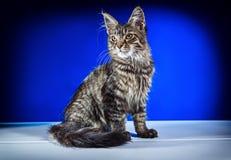 Γατάκι σε ένα μπλε υπόβαθρο Στοκ εικόνες με δικαίωμα ελεύθερης χρήσης