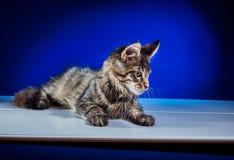 Γατάκι σε ένα μπλε υπόβαθρο Στοκ φωτογραφία με δικαίωμα ελεύθερης χρήσης
