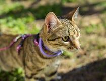 Γατάκι σε ένα λουρί υπαίθριο Στοκ Εικόνες