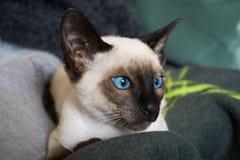γατάκι σιαμέζο στοκ εικόνες με δικαίωμα ελεύθερης χρήσης