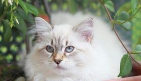Γατάκι, σιβηρική γάτα Στοκ Φωτογραφίες