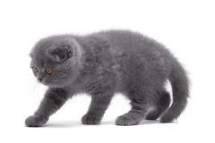 γατάκι σκωτσέζικα πτυχών Στοκ Εικόνες