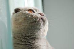 γατάκι σκωτσέζικα πτυχών Στοκ εικόνες με δικαίωμα ελεύθερης χρήσης