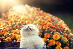 Γατάκι στα πορτοκαλιά λουλούδια μαργαριτών Στοκ Εικόνες