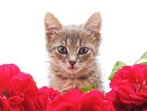 Γατάκι στα τριαντάφυλλα στοκ φωτογραφία