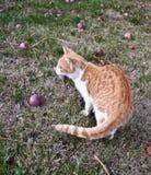 Γατάκι στον κήπο φθινοπώρου με τα πεσμένα aple φρούτα Στοκ Εικόνα