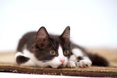 γατάκι ταπήτων Στοκ φωτογραφία με δικαίωμα ελεύθερης χρήσης