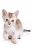 γατάκι της Βεγγάλης Στοκ φωτογραφία με δικαίωμα ελεύθερης χρήσης