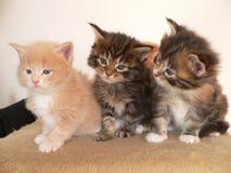 3 γατάκι του Μαίην coon σε μια ομάδα Στοκ φωτογραφίες με δικαίωμα ελεύθερης χρήσης
