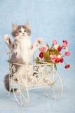 Γατάκι του Μαίην coon Στοκ Εικόνα