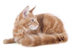 Γατάκι του Μαίην coon Στοκ φωτογραφία με δικαίωμα ελεύθερης χρήσης