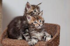 Γατάκι του Μαίην Coon στοκ εικόνες με δικαίωμα ελεύθερης χρήσης