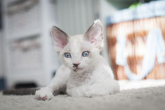 Γατάκι του Ντέβον Rex στοκ φωτογραφία με δικαίωμα ελεύθερης χρήσης
