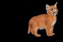 Γατάκι Caracal Στοκ Εικόνες