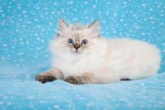 Γατάκι Ragdoll με την τιάρα Στοκ Εικόνα