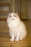 γατάκι ragdoll Στοκ Φωτογραφίες