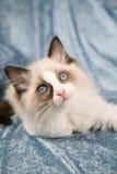 γατάκι ragdoll Στοκ φωτογραφία με δικαίωμα ελεύθερης χρήσης