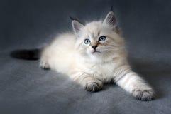 Γατάκι Sberian colorpoint στοκ εικόνες με δικαίωμα ελεύθερης χρήσης