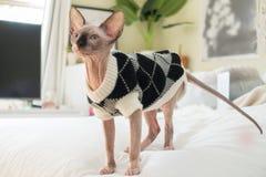 Γατάκι Sphynx που φορά το πουλόβερ στοκ εικόνα με δικαίωμα ελεύθερης χρήσης