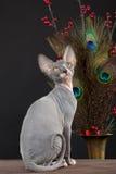 γατάκι sphynx στοκ φωτογραφίες με δικαίωμα ελεύθερης χρήσης