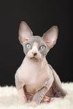 Γατάκι Sphynx στοκ εικόνες με δικαίωμα ελεύθερης χρήσης