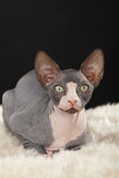 Γατάκι Sphynx στοκ εικόνες