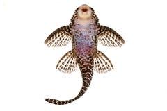 Γατόψαρο λ-260 Pleco ψάρια ενυδρείων βασίλισσας Arabesque Hypostomus SP Plecostomus Στοκ Εικόνες