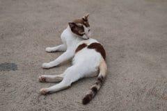Γατών γατακιών χαριτωμένο γατάκι κατοικίδιων ζώων γατών άσπρο Στοκ φωτογραφία με δικαίωμα ελεύθερης χρήσης