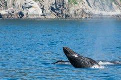 Γαλάζια φάλαινα Στοκ Φωτογραφίες