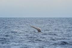 γαλάζια φάλαινα Στοκ Εικόνα