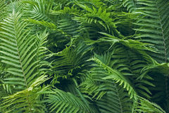 Γαλαζοπράσινα φύλλα μιας φτέρης, κινηματογράφηση σε πρώτο πλάνο Στοκ Φωτογραφίες