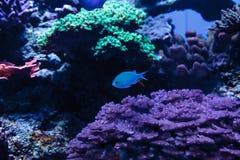 Γαλαζοπράσινα ψάρια chomis, viridis Chromis Στοκ Φωτογραφία