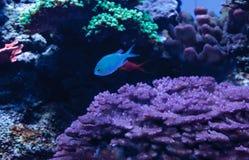 Γαλαζοπράσινα ψάρια chomis, viridis Chromis Στοκ φωτογραφίες με δικαίωμα ελεύθερης χρήσης