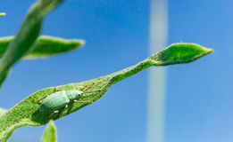 Γαλαζοπράσινα curculionidae που κάθονται στη χλόη Στοκ Εικόνες